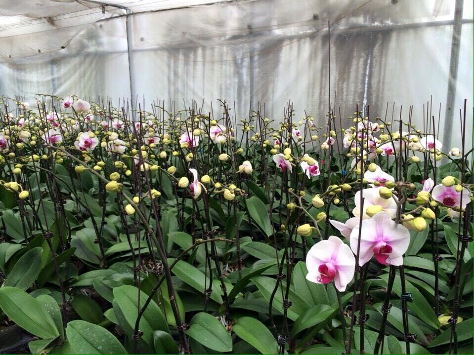 cách trồng hoa lan hồ điệp