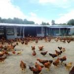 Tổng hợp 6 cách chống nóng cho gà bất chấp ngày hè 40 độ