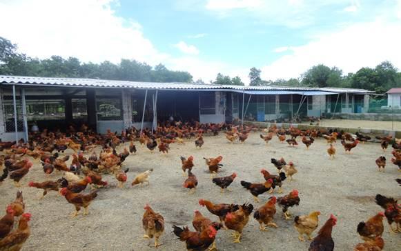 giảm mật độ nuôi nhốt gà