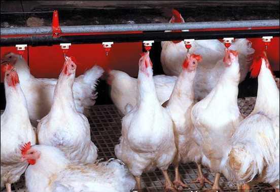 chống nóng cho chuồng gà